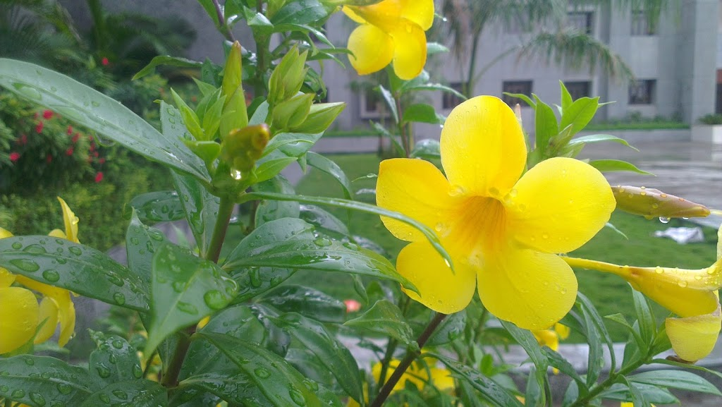 The Yellow Flower After Rain