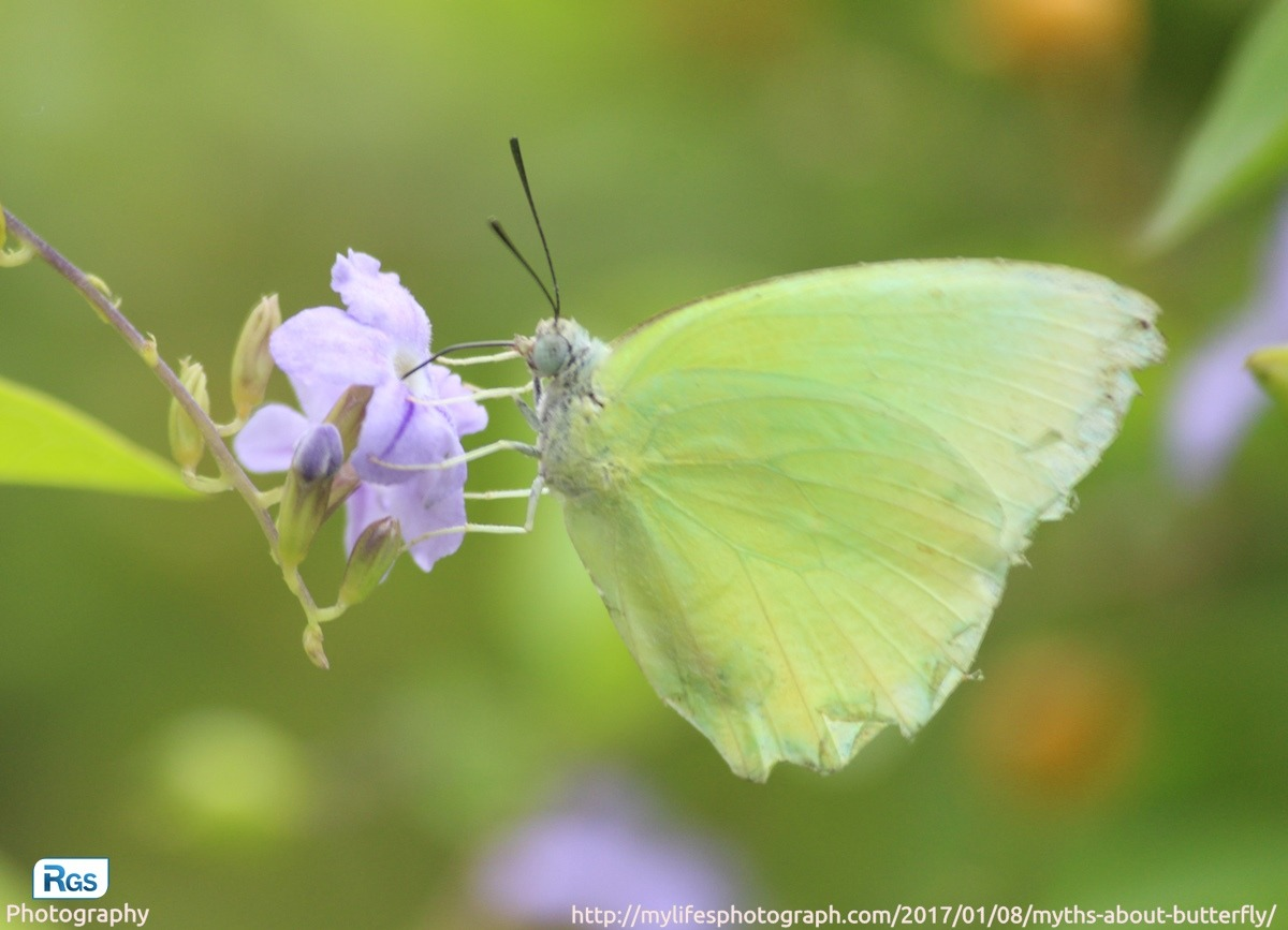 Yellow Butterfly - The Symbol of Hope and Guidance
