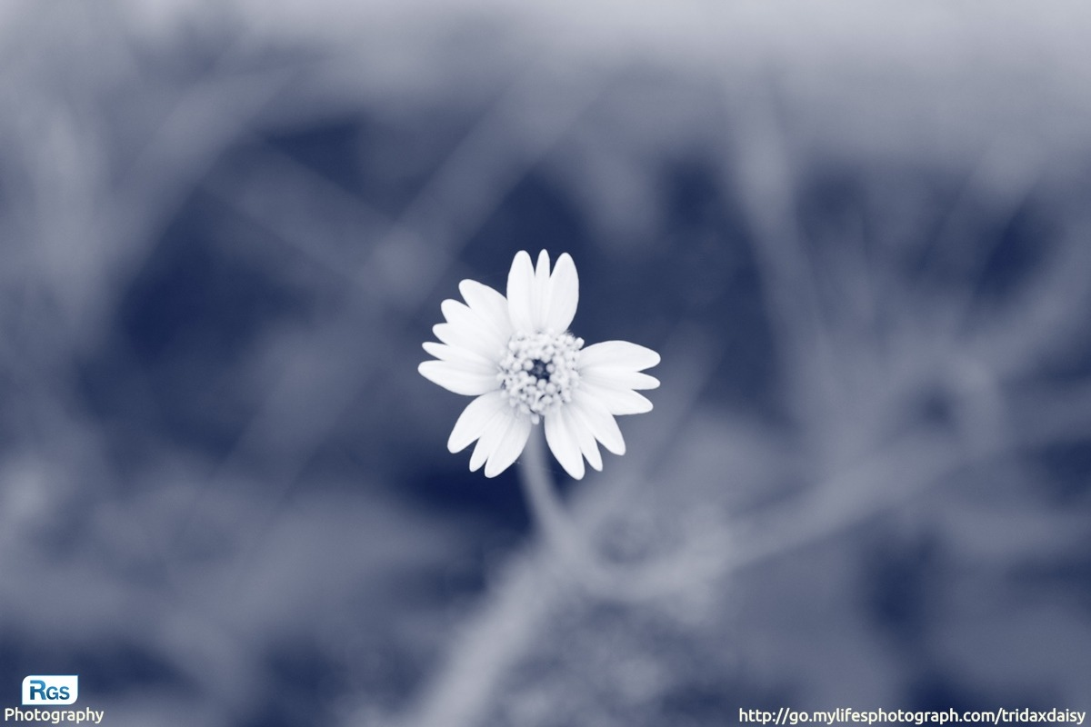 Tridax Daisy flower (Tridax procumbens, Coat Buttons, Mexican Daisy Wild flowers) by mylifesphotograph