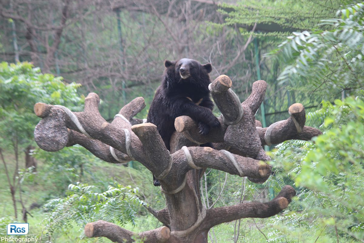 Asian black bear in pradyuman park wildlife photography