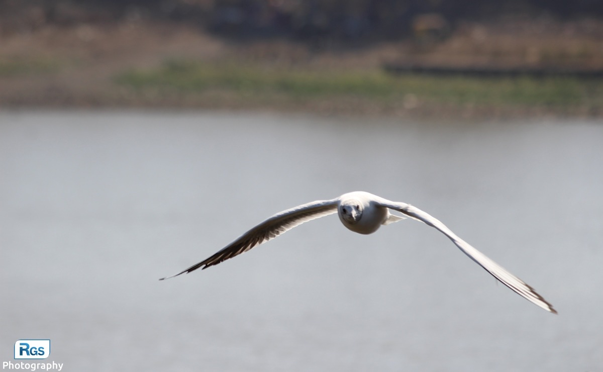 Natural photo of flying seagull