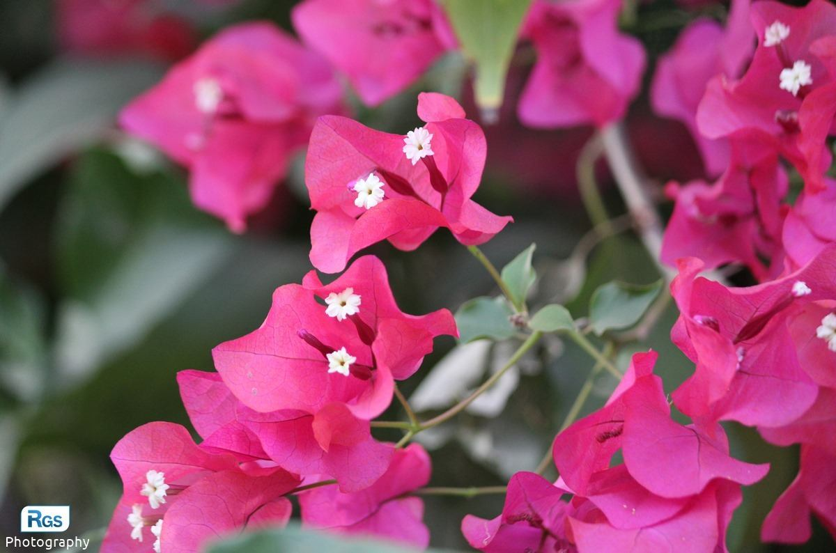 Royal Purple Bougainvillea Plant - Flower Photography